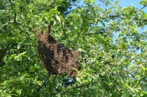 Voici comment se présente généralement un essaim d'abeilles