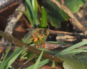 Juste le temps de réarranger ces pelotes de pollen orange vif; heureusement, elles ont emmené exprès un peu de miel pour que cette « boulette » colle bien ensemble