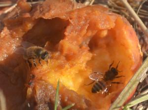 Encore d'autres trouvent une source inespérée de sucre dans ces pommes « gueule de mouton » échappées à la vigilance de l'hiver; cette dernière photo montre comme elle touchent la pomme de leurs antennes afin de goûter avant de se servir…