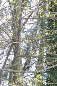 Le cornouiller mâle fleurit en février sur le bois nu.