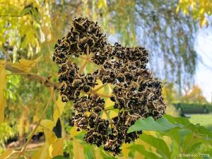 Les graines sont groupées