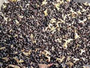 Récolte des graines de Tetradium Daniellii